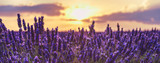 Lavender closeup on the background of the setting sun.Lavender in the sunset rays of the sun.Lavender field at sunset,Provence,France.Beautiful background with lavender and sunset. - 158166365