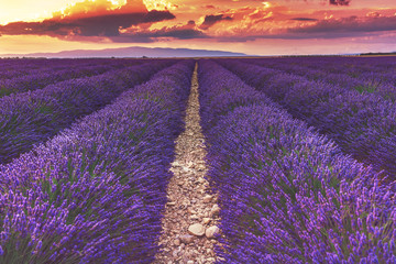 Beautiful sunset on lavender fields in Provence, France.Endless rows of lavender. The path in the lavender field.Lavender field at sunset.