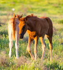 Horses are walking in the pasture at sunset