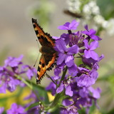Giroflée en fleurs, papillon  - 158225992