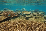 Underwater coral reef with fish in healthy condition in shallow water, south Pacific ocean, New Caledonia, Oceania