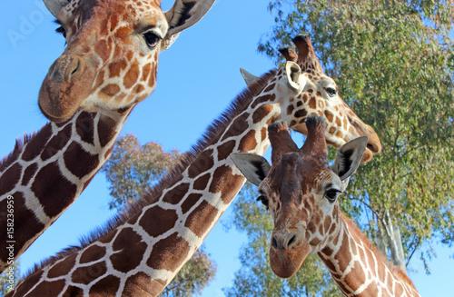giraffe photo Poster