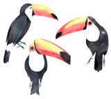 Watercolor toucan set. Painted tropical birds - 158246776