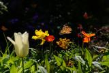 Schmetterling 323