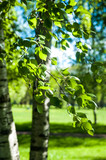 Young birch branches in the sunlight . Spring green background. Juicy greens
