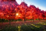 Pear trees in autumn peak