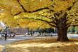Big ginkgo tree in tokyo  university during autumn season