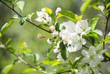 flowers on crabapple tree - 158330300