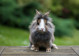 Beautiful young small grey lionheaded bunny rabbit in the garden in summer day.