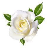 white rose isolated on white - 158354145
