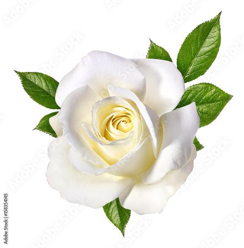 Fototapeta white rose isolated on white
