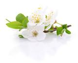 Cherry flowers isolated. - 158361966