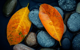 Autumn season and peaceful concepts. Orange leaf on river stone . Abstract background of autumn leaf on black stone with water drop. - 158365984