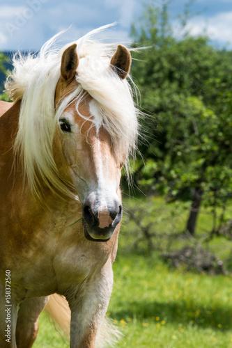 Pferd auf der Koppel Poster
