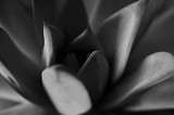 Texture or background, very colorful succulents in macro photography ,black and white image - 158373317