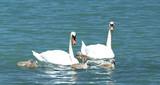 Swan family at Lake Balaton, Hungary