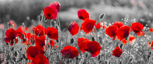Foto op Canvas Panoramafoto s red poppies, black and white