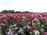 Blumenfeld am Niederrhein bei Tönisvorst
