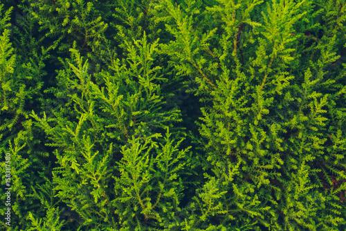 Textura de hojas de conífera verdes