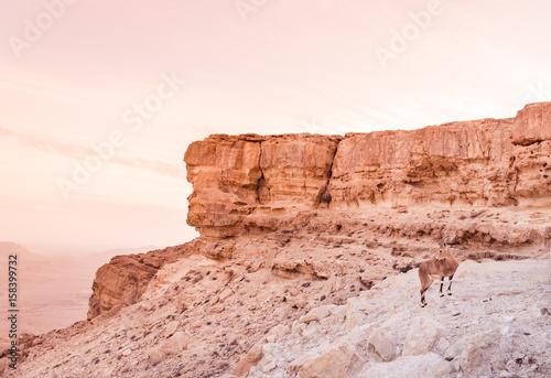 The Nubian ibex (Capra nubiana) is a desert-dwelling goat in Makhtesh Ramon, Isr плакат