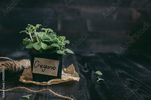 Fresh oregano in pot on the wooden background with copy space