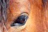 Nahaufnahme vom den Auge eines braunen Pferdes