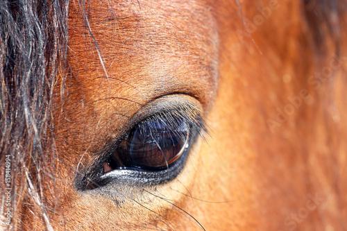 Nahaufnahme vom den Auge eines braunen Pferdes Poster