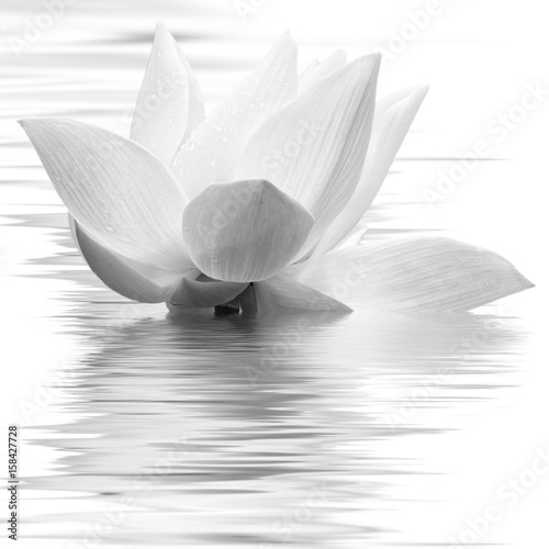 fleur blanche de lotus en noir et blanc