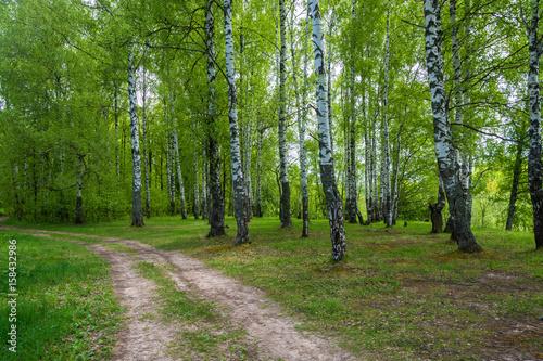 Papiers peints Bosquet de bouleaux Forest road to birch grove.