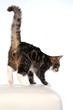 beautiful striped cat