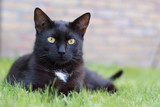 Domestic black cat laying on the grass