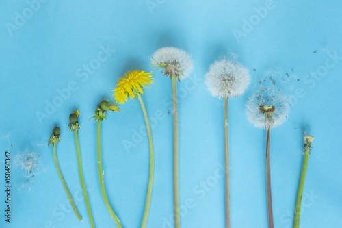 Plagát Evolution concept, phases of dandelion growing, blue paper background