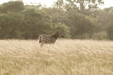 Zebra stallion in African sunset light : Zululand game reserve