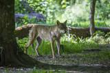Loup gris Alpha en meute, sous bois et portrait