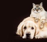 Cat and dog, siberian kitten , golden retriever together on dark brown background - 158477327