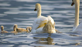 Swan mother with puppy