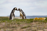 Pingwiny, Isla Magdalena, Chile