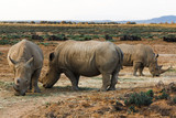 Rhinos in wild nature (Inverdoorn, South Africa)