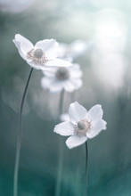 Beautiful flowers of anemones on a gentle background. Artistic image. Selective focus