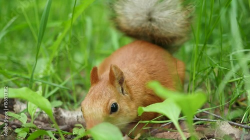 Tuinposter Eekhoorn Red squirrel deftly gnaws nuts in the park