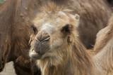 Kamelen jong aan het herkauwen