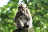 Macaque in the Monkey Forest of Ubud, Bali