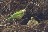 Pappagalli nel nido