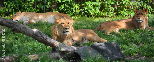 Tuinposter Panter lion is one of the four big cats in the genus Panthera, and a member of the family Felidae. With some males exceeding 250 kg (550 lb) in weight, it is the second-largest living cat after the tiger