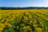 Green field with yellow mustard flowers