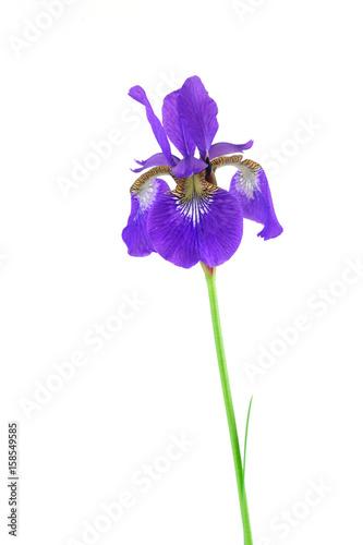 Fotobehang Iris purple Iris flower isolated on white background