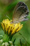 Gray butterfly sitting on a dandelion