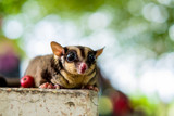 A Chubby adorable sugar glider climb on the table with tree bokeh in the garden. Looking for something. (Petaurus breviceps)