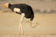 Male ostrich (Struthio camelus) in natural habitat, Kalahari desert, South Africa.