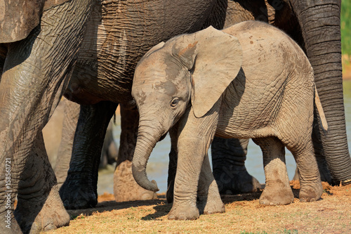 A cute baby African elephant (Loxodonta africana), Addo Elephant National Park, South Africa Poster